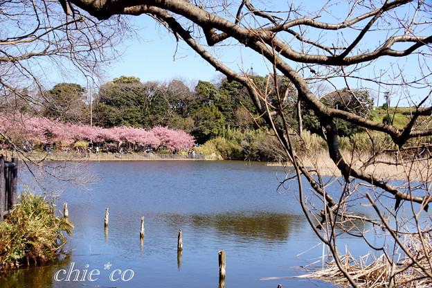 三浦海岸~河津桜~-186