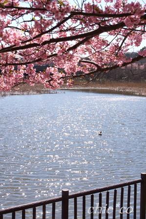 三浦海岸~河津桜~-193