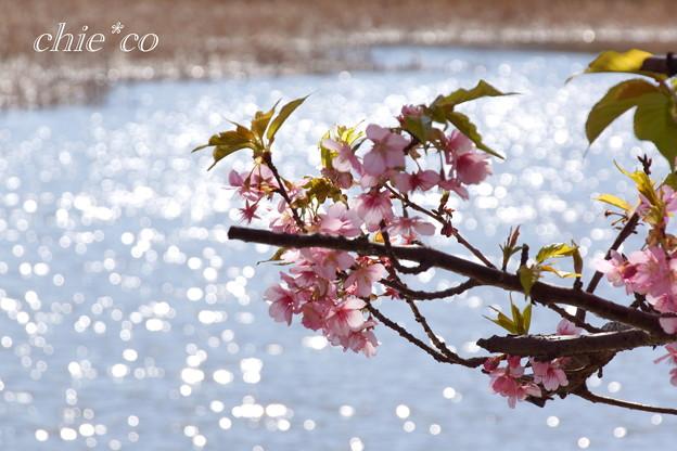 三浦海岸~河津桜~-195