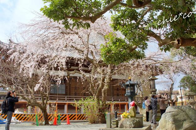 改修工事の名残りとしだれ桜・・鎌倉本覚寺・・