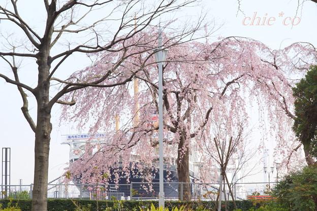 しだれ桜と・・氷川丸・・