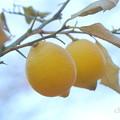檸檬(れもん)。。