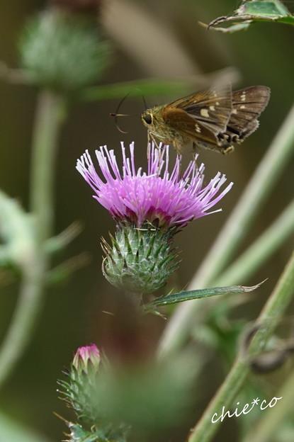 アザミと蝶。。