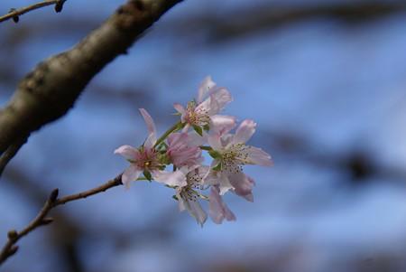 秋空に・・・10月桜~♪