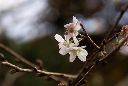晩秋の桜。さくら。。