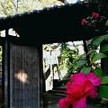写真: 山茶花の彩り・・・