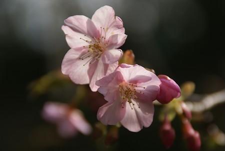 さくら。。  河津桜~♪