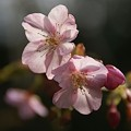 写真: さくら。。  河津桜~♪