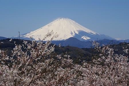 桜の季節の富士・・♪