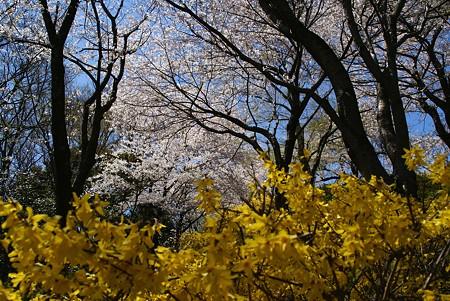 レンギョウと・・桜と・・♪