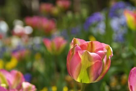 チューリップ咲く花壇・・