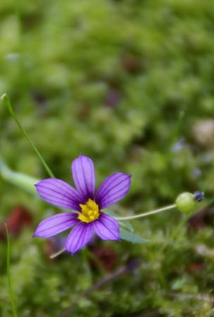 紫のニワゼキショウ・・♪