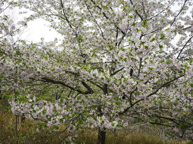 古法華自然公園の桜