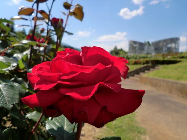 薔薇の園_4