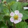 写真: 桜色の花びら