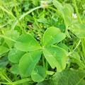写真: four_leaf