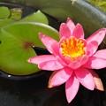 写真: 睡蓮開花