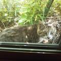 写真: ドロボー猫、目が合う