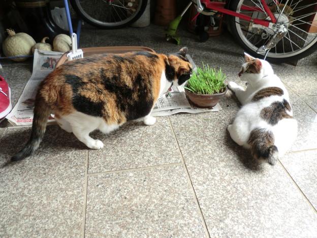 猫草争奪戦