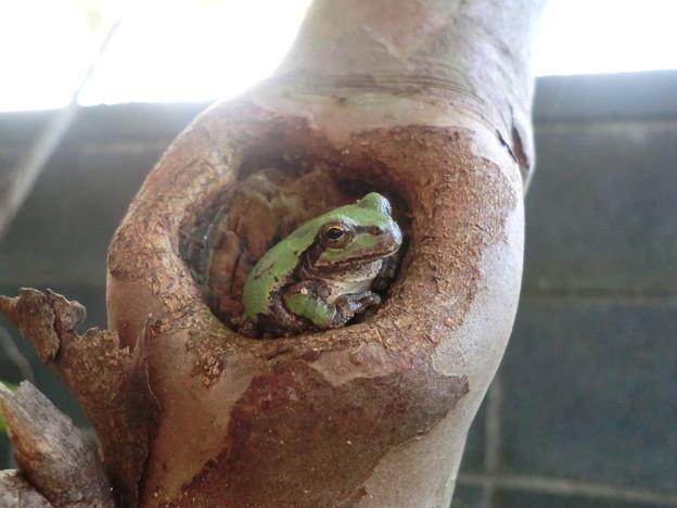 洞穴のカエル