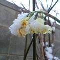 Photos: 氷仙