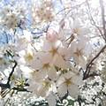 春ノヒカリ