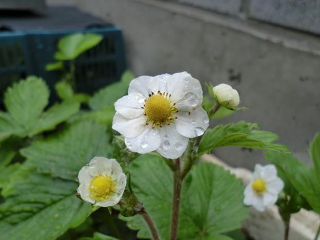 八重の花びら