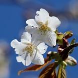 桜トレック