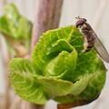 写真: ハナアブとアジサイの芽吹き