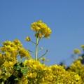写真: 菜の花畑