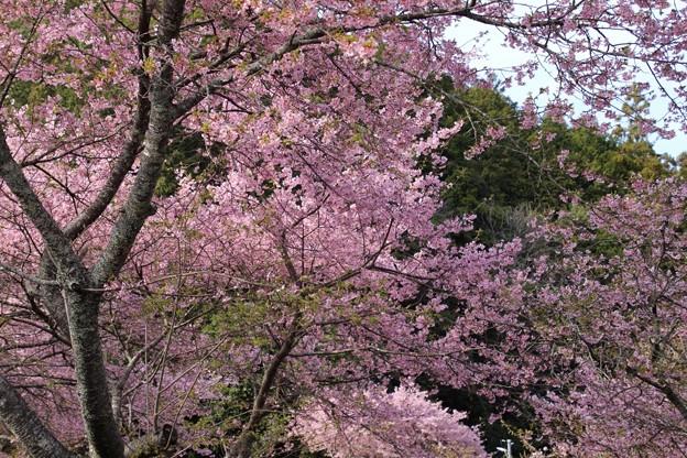 長篠の河津桜