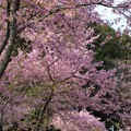 写真: 長篠の河津桜