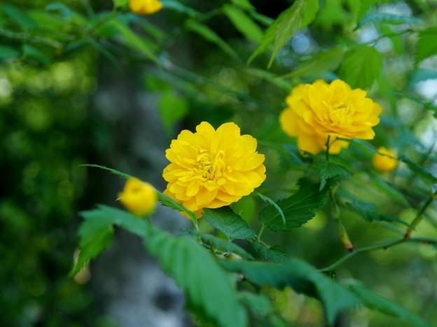 お庭に咲く八重山吹