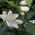 Photos: みかんの花