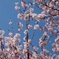 Photos: 青いお空とコヒガンザクラ