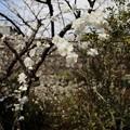 Photos: 此れは枝垂れの花桃