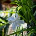Photos: シャガも咲き始めました。