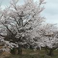 Photos: 古墳の桜