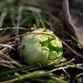 写真: 芽吹き