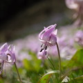 写真: 満開に咲く。