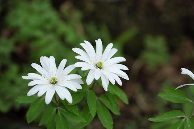 写真: 季節の花(アズマイチゲ)