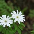 Photos: 季節の花(アズマイチゲ)