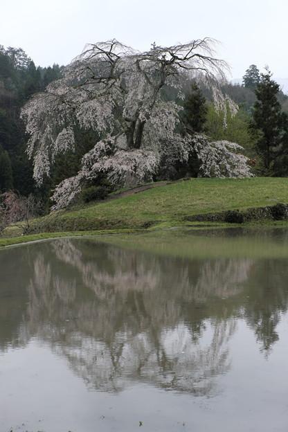 里山に咲く(与一野の枝垂れ桜)