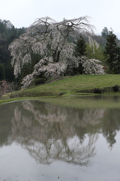 写真: 里山に咲く(与一野の枝垂れ桜)