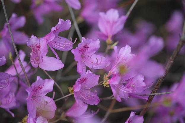 季節の花(コバノミツバツツジ)