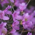 写真: 季節の花(コバノミツバツツジ)