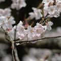 写真: sakura