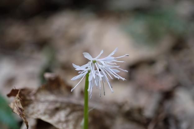 写真: 季節の花(シロバナショウジョウバカマ)
