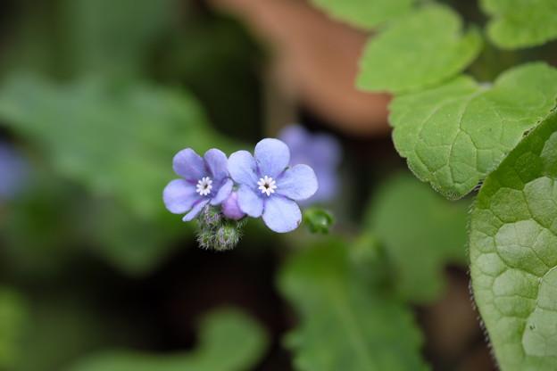 写真: 季節の花(ヤマルリソウ)