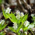 写真: 季節の花(ヒトリシズカ)